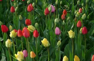tulip-field-53095_640